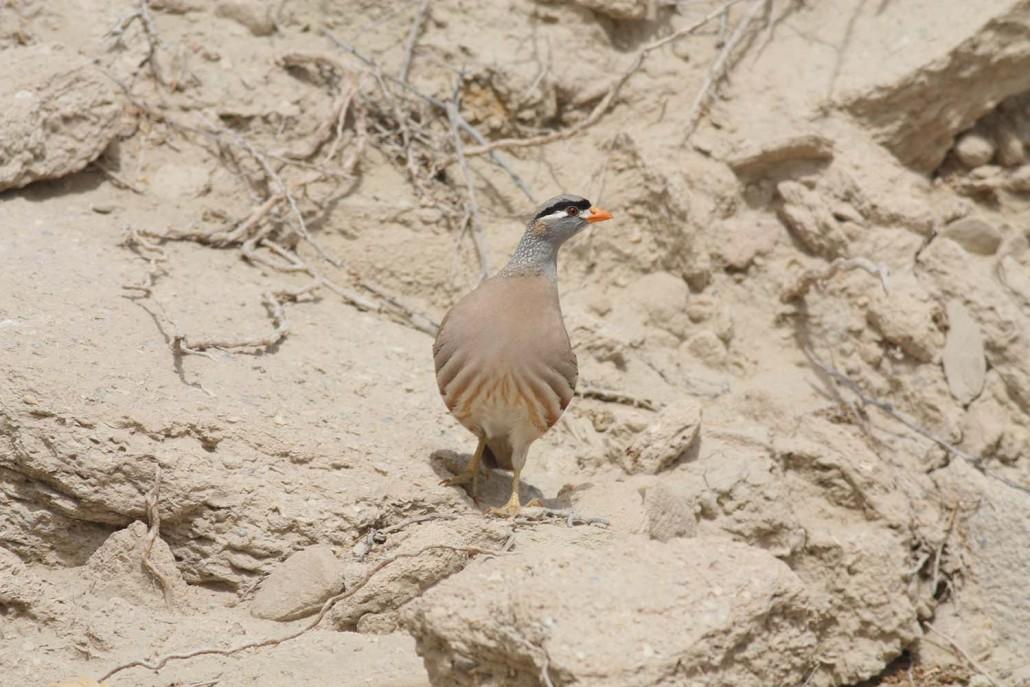 See See Partridge