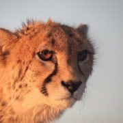 The Asiatic Cheetah, the rare species of Iran Wildlife