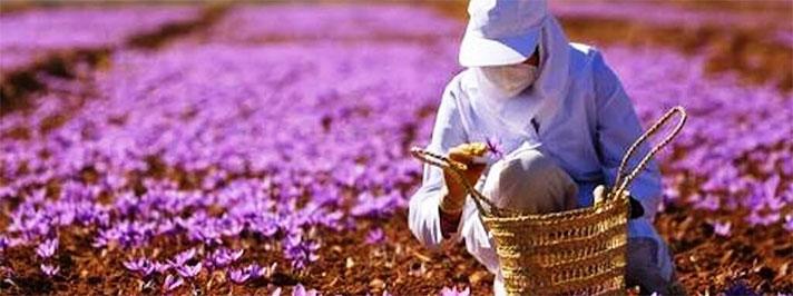 saffron harvesting