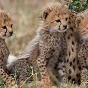 world wildlife day - Iranian Cheetah